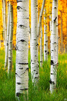 Colorado, aspen, autumn, sunset, forest, Maroon Bells, Snowmass