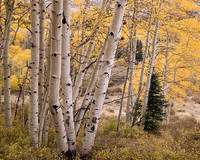 Telluride, Colorado, aspen, autumn