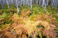 autumn, fern, aspen, Colorado