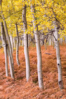 autumn, aspen, fern, Kebler Pass, Colorado