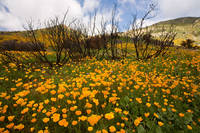 wildflower, flower, spring, bloom, wildfire, San Diego