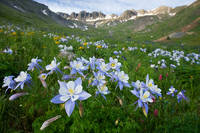 columbine, American Basin, mountain, sunrise, wildflower, summer, Colorado