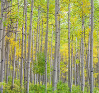 Colorado, aspen, fall, autumn, Durango, La Plata Mountains, forest