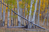 Colorado, aspen, autumn, forest, Last Dollar, Uncompahgre National Forest, San Juan Mountains