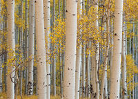 Colorado, aspen, Telluride, autumn, forest, Last Dollar, Uncompahgre National Forest, San Juan Mountains
