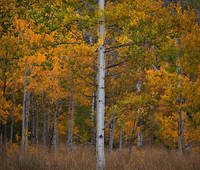 Wyoming, autumn, fall, aspen, tree
