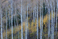 fall, autumn, Colorado, aspen