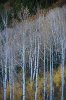 aspen, autumn, Colorado, fall