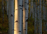 aspen, autumn, forest, Colorado, fall