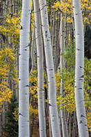 aspen, Colorado, fall, autumn, tree