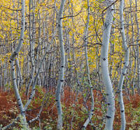 Colorado, aspen, autumn, fern, tree, fall, Kebler Pass, Gunnison National Forest