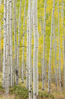 Colorado, aspen, Telluride, autumn, forest, Uncompahgre