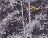 Colorado, aspen, forest, autumn, San Juan Mountains, Uncompahgre, snow storm