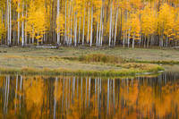 Colorado, aspen, autumn, tree, fall, reflection
