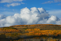 Colorado, aspen, autumn, tree, fall