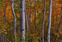 colorado, autumn, fall, aspen, trees, forest