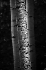 Colorado, aspen, trees, autumn, Owl Creek Pass