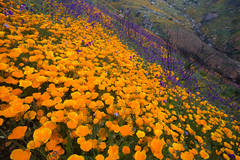 wildflower, poppy, flower, hill, wildfire, bloom, spring, San Diego