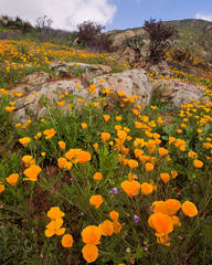wildflower, flower, spring, poppy, wildfire, San Diego