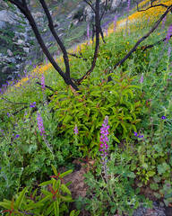 spring, wildflower, flower, lupine, poppy, San Diego, wildfire