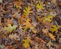 Autumn Oak Carpet
