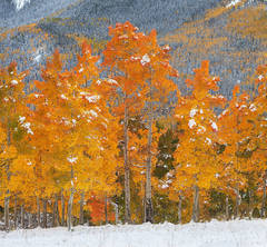 Colorado, aspen, forest, autumn, snow, San Juan Mountains, Silver Jack