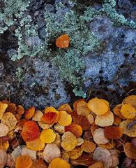 aspen, leaf, Colorado