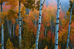 colorado, autumn, aspen, trees, misty, san juan mountains