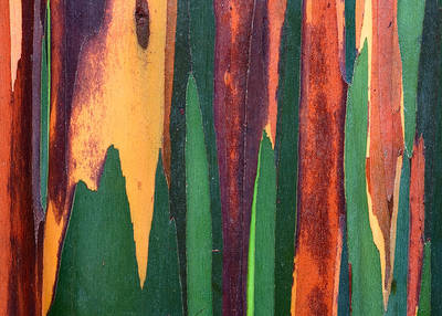 Hawaii, Maui, rainbow eucalyptus, tree, bark