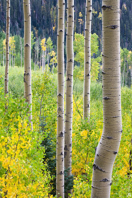 Colorado, aspen, fall, autumn, Durango, La Plata Mountains, forest, grove