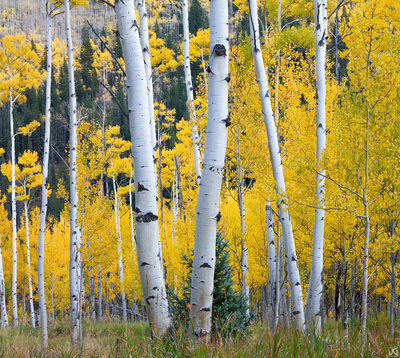 Colorado, aspen, tree, autumn, fall, evergreen, Castle Creek