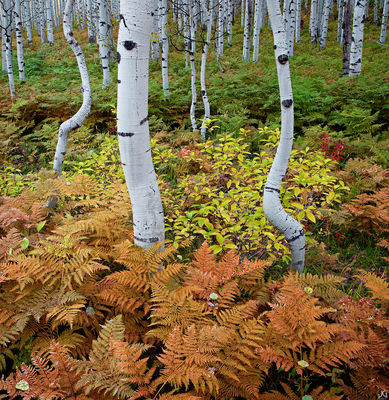 Colorado, aspen, autumn, tree, McClure Pass, Gunnison National Forest, fern
