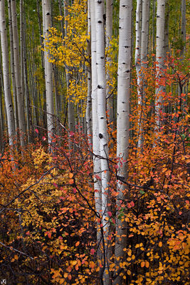 Colorado, aspen, Telluride, autumn, tree, Last Dollar, Uncompahgre National Forest, San Juan Mountains
