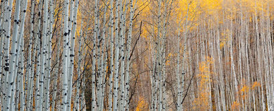 Colorado, aspen, autumn, forest, Telluride, San Juan Mountains, Uncompahgre