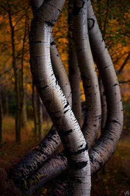 Colorado, aspen, forest, autumn