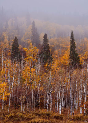 Colorado, aspen, forest, autumn, fog