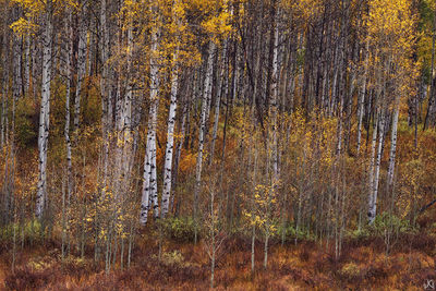 colorado, aspen, autumn, forest