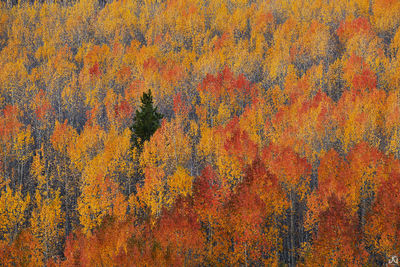 Colorado, aspen, tree, forest, autumn, pine