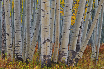 Colorado, aspen, ferns, autumn, forest