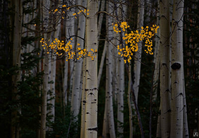 Colorado, aspen forest, autumn