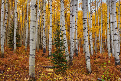 Colorado, aspen, forest, autumn, ferns