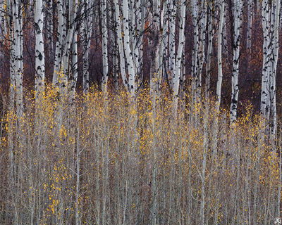 aspen, forest, autumn, Colorado, trees