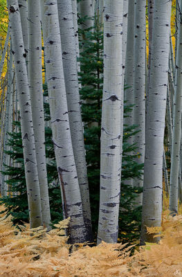 Colorado, aspen, fir, trees, forest, ferns, autumn