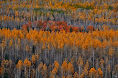 Colorado, aspen, fall, color, forest, trees