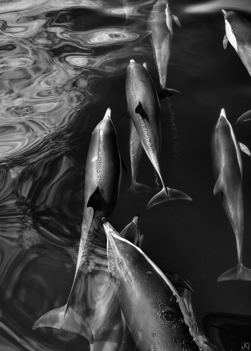Members of a large pod of dolphins swim alongside each other on their way in search of food.
