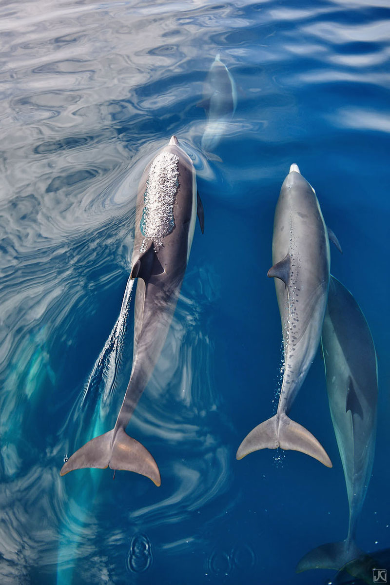 Dolphins communicate with sound, but also with streams of bubbles. As one dolphin surfaces for air, exhaling forms larger bubbles...