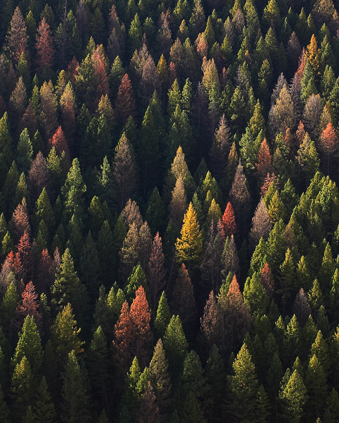These evergreens put on a colorful display, even on their death bed, as the bark beetle's damage is seen throughout the West.