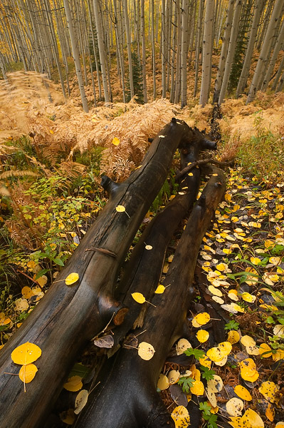 This downed aspen tree paves the way through the ferns and autumn leaves.