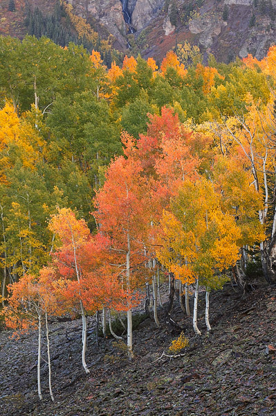 Colorado, aspen, autumn, tree, Ohio Pass, Gunnison National Forest, photo