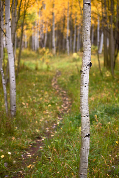 A small footpath leads between young aspen trees that are in the early stages of their annual fall color show.